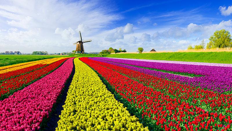 Stor eng av tulipaner i ulike farger. En vindmølle i bakgrunnen.